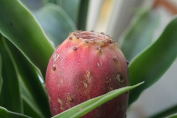 Фруктовый кактус - колючка